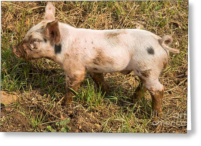 Piglets Greeting Cards - Where is my Momma Greeting Card by Bob Phillips