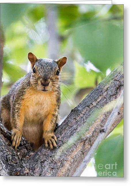 Eastern Fox Squirrel Greeting Cards - Where Is My Peanut Greeting Card by Robert Bales