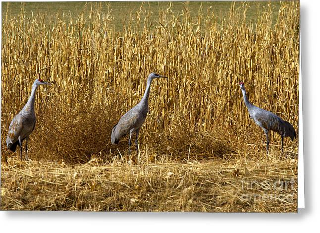 Sandhill Crane Greeting Cards - Where is the Corn Greeting Card by Mike  Dawson