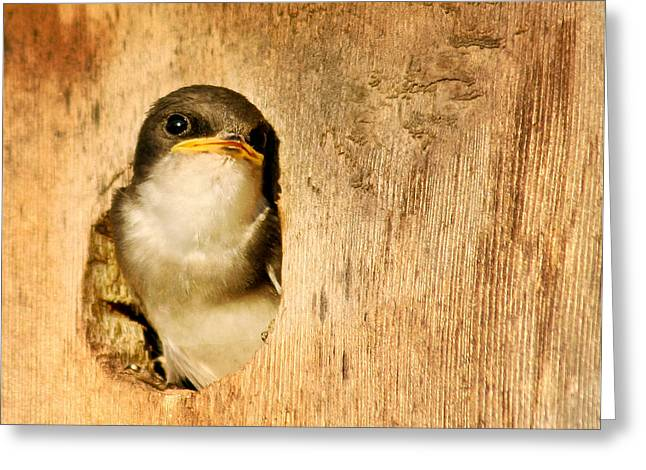Baby Swallows Greeting Cards - Wheres Dinner Greeting Card by Jean Noren