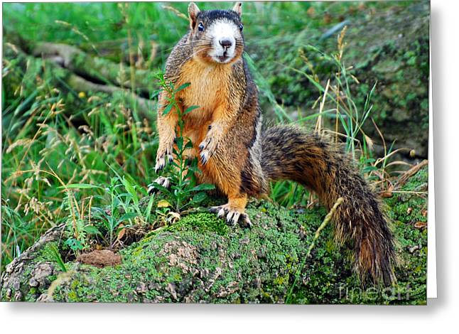 Fox Squirrel Greeting Cards - Which Way to Go Greeting Card by Francine Hall