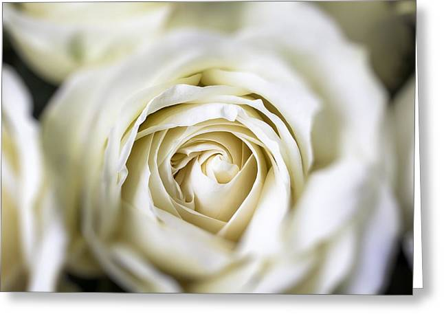 White Rose Greeting Cards - Whie Rose Softly Greeting Card by Garry Gay