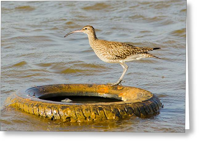 Surveying Greeting Cards - Whimbrel on tire Greeting Card by Dave Montreuil