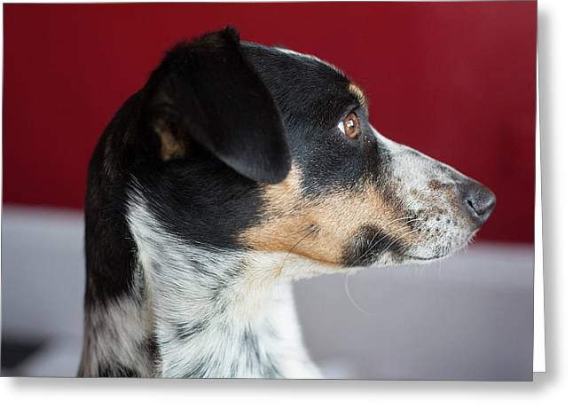 Whippet-jack Russell Terrier Cross-breed Greeting Card by Jim West