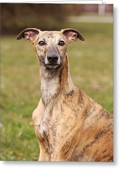 Whippet Greeting Cards - Whippet Greeting Card by Mountain Dreams