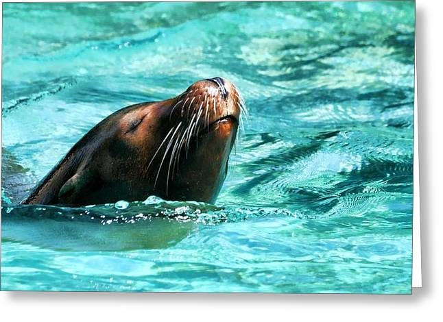 Sea Lions Greeting Cards - Whiskers Greeting Card by Diana Angstadt