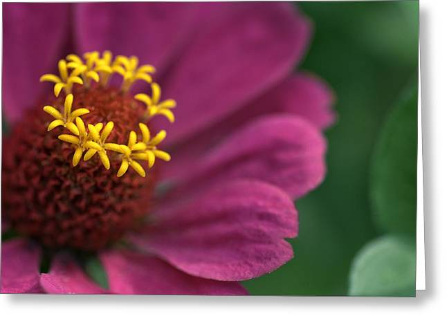 Zinnia Elegans Greeting Cards - Whispering Petals  Greeting Card by Chris Fleming