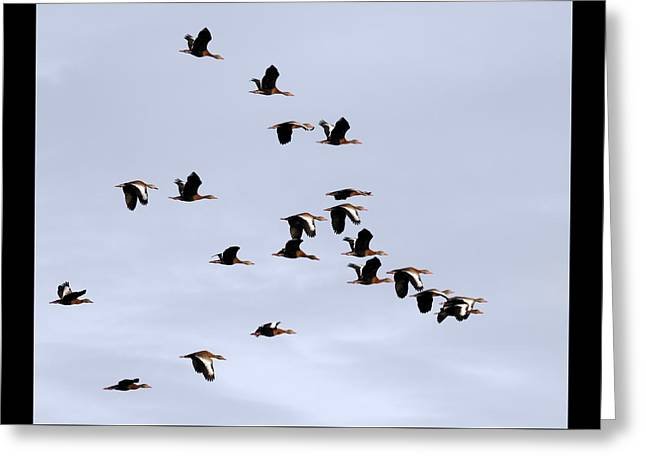Whistling Duck Flock Greeting Card by Dawn Currie