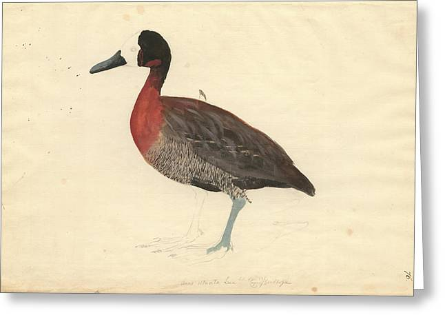 Whistling Duck Greeting Card by Natural History Museum, London