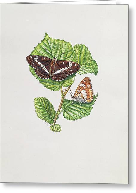 Botanicals Greeting Cards - White Admiral Butterfly On Hazel Leaves Wc Greeting Card by Elizabeth Rice