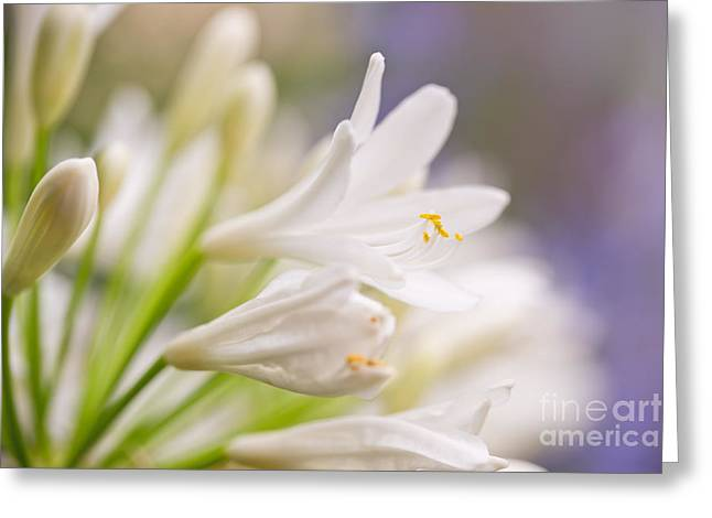 Agapanthus Greeting Cards - White agapanthus Greeting Card by Delphimages Photo Creations