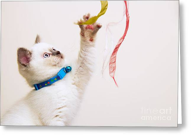Pussy Greeting Cards - White and Brown British Shorthair Kitten Playing With Ribbons Greeting Card by Leyla Ismet
