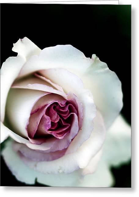 Beautiful Winter Willow Tree  Yellow Greeting Cards - White and Magenta Rose Greeting Card by Sennie Pierson
