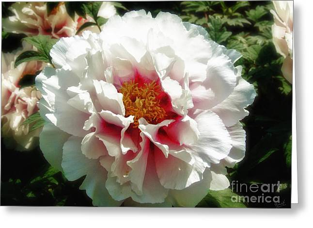Large White Flower Close Up Greeting Cards - White and Pink Peony Greeting Card by Nishanth Gopinathan