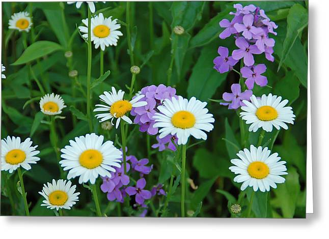 White And Purple Greeting Card by Aimee L Maher Photography and Art Visit ALMGallerydotcom