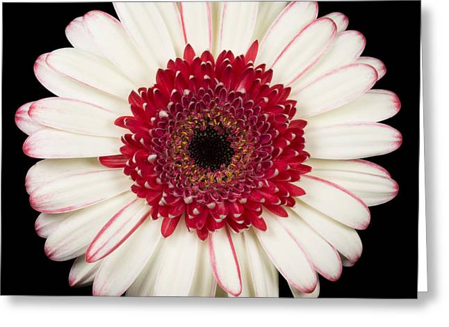 Barberton Daisy Greeting Cards - White and Red Gerbera Daisy Greeting Card by Adam Romanowicz