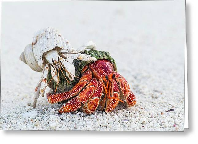 White And Red Hermit Crabs Greeting Card by Peter Chadwick