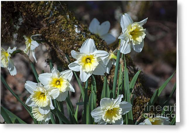 Silverton Greeting Cards - White and Yellow Daffodils Greeting Card by Mandy Judson