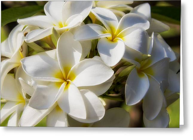 Hawaii Greeting Cards - White and Yellow Plumeria 2 Greeting Card by Brian Harig
