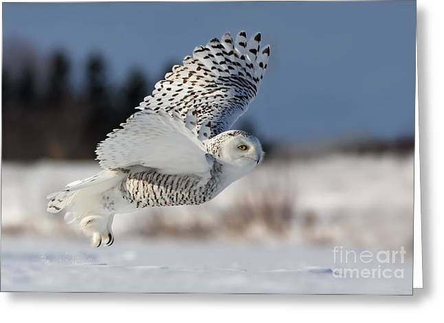 Mystic Photographs Greeting Cards - White angel - Snowy owl in flight Greeting Card by Mircea Costina Photography