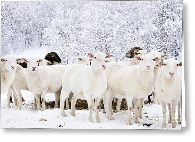 White As Snow Greeting Card by Thomas R Fletcher