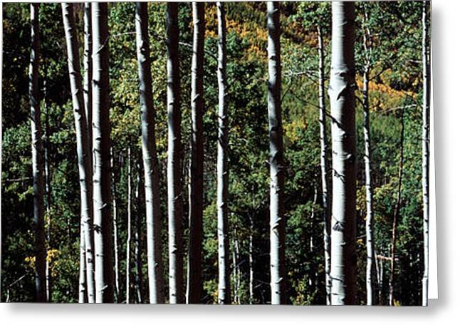 Height Greeting Cards - White Aspen Tree Trunks Co Usa Greeting Card by Panoramic Images