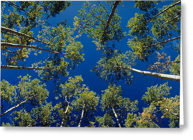 Height Greeting Cards - White Aspen Trees Co Usa Greeting Card by Panoramic Images