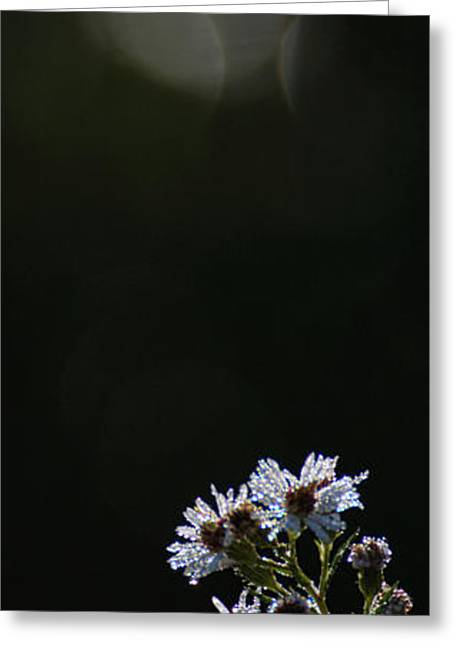 Light And Dark Greeting Cards - White Asters and Moons Greeting Card by Jocelyn Ball