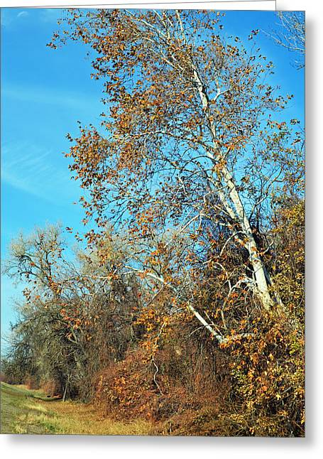 Colusa Greeting Cards - White Bark Autumn Color Greeting Card by Pamela Patch