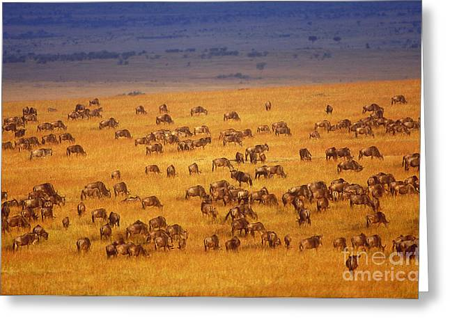 White Beard Photographs Greeting Cards - White-bearded Wildebeest Herd Greeting Card by Art Wolfe
