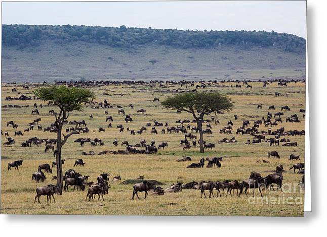 White Beard Greeting Cards - White-bearded Wildebeest Migrating Greeting Card by Greg Dimijian