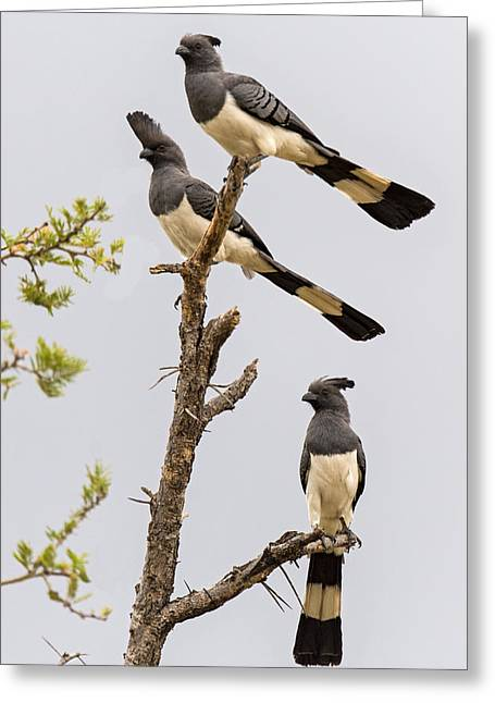 Go Away Greeting Cards - White-bellied Go-away Birds Greeting Card by Panoramic Images