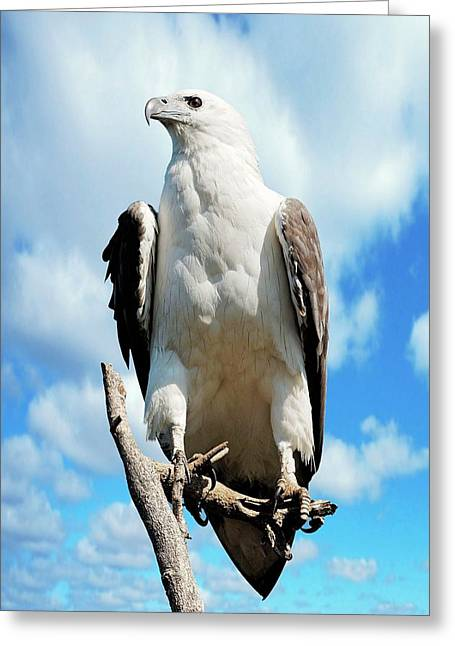 White-bellied Sea Eagle Greeting Card by Bildagentur-online/mcphoto-schulz