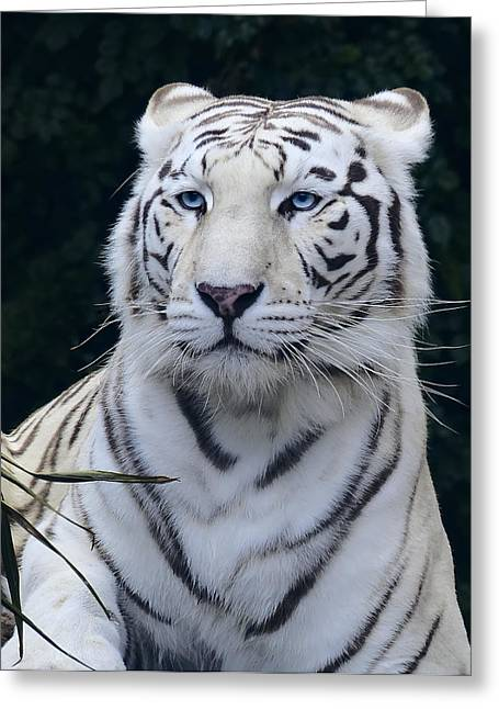 The Tiger Greeting Cards - Blue Eyed White Bengal Tiger Greeting Card by Daniel Hagerman