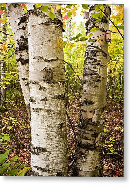 Forest Picture Greeting Cards - White Birch Forest  Greeting Card by James Marvin Phelps