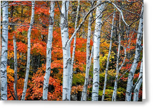 Birch Grove Greeting Cards - White Birch Forest - White Mountains Greeting Card by Thomas Schoeller
