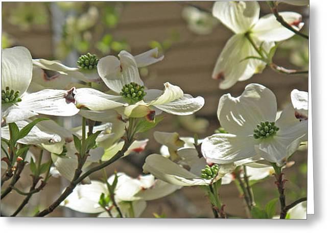 White Blossoms Greeting Card by Barbara McDevitt