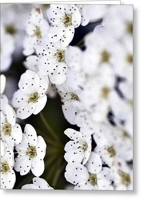 Flower Picture Greeting Cards - White Blossoms Greeting Card by Frank Tschakert