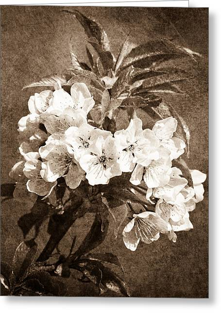 Fruit Tree Photographs Greeting Cards - White Blossoms - Sepia Greeting Card by Alexander Senin
