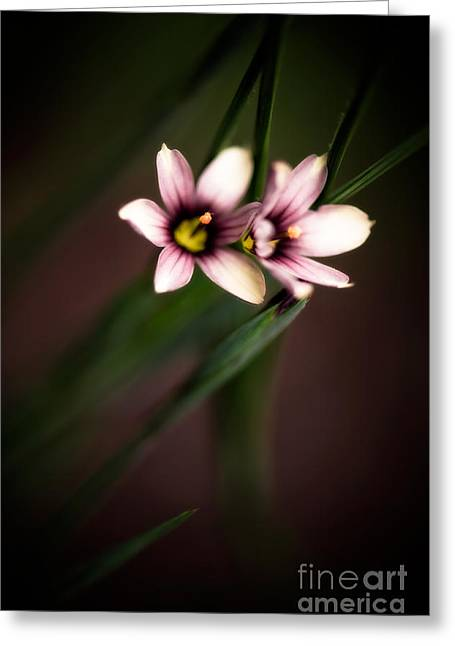 Close Focus Floral Greeting Cards - White Blue-eyed Grass Greeting Card by Venetta Archer