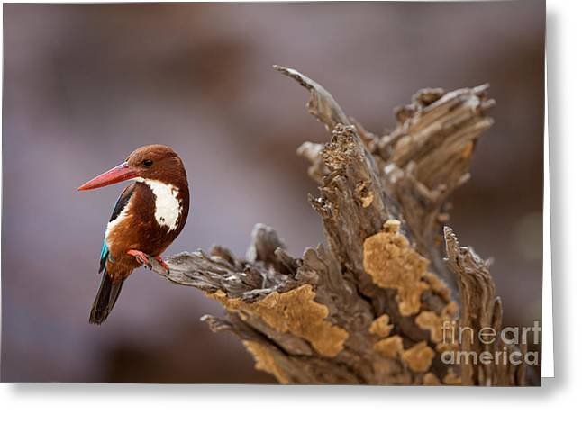 Smyrna Greeting Cards - White-breasted Kingfisher Greeting Card by Bernd Rohrschneider