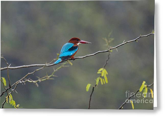 Asian Wildlife Greeting Cards - White-breasted Kingfisher Greeting Card by William H. Mullins