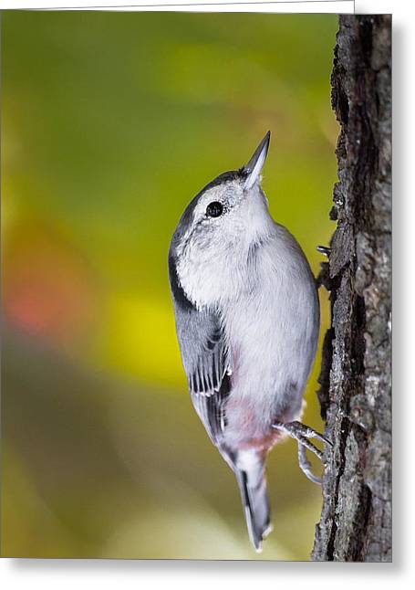 Song Birds Greeting Cards - White Breasted Nuthatch Greeting Card by Bill  Wakeley