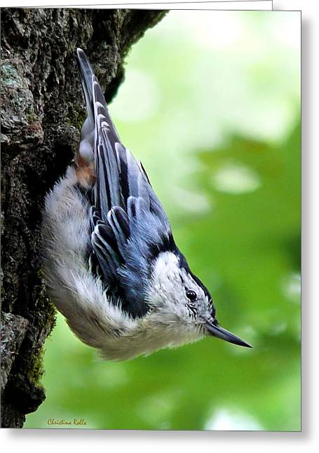 White-breasted Nuthatch Greeting Card by Christina Rollo