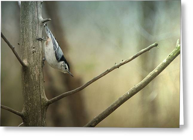 Buy Photos Online Greeting Cards - White Breasted Nuthatch Greeting Card by Steven  Michael