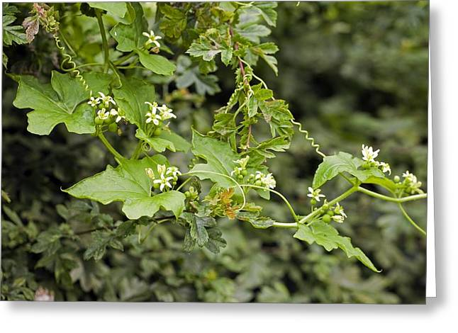 Tendrils Greeting Cards - White Bryony (Bryonia dioica) Greeting Card by Science Photo Library