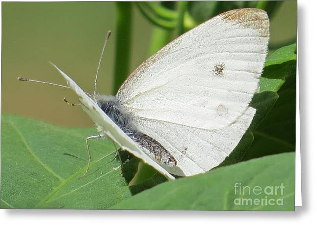 Pieris Rapae Greeting Cards - White Butterfly Greeting Card by Judy Via-Wolff