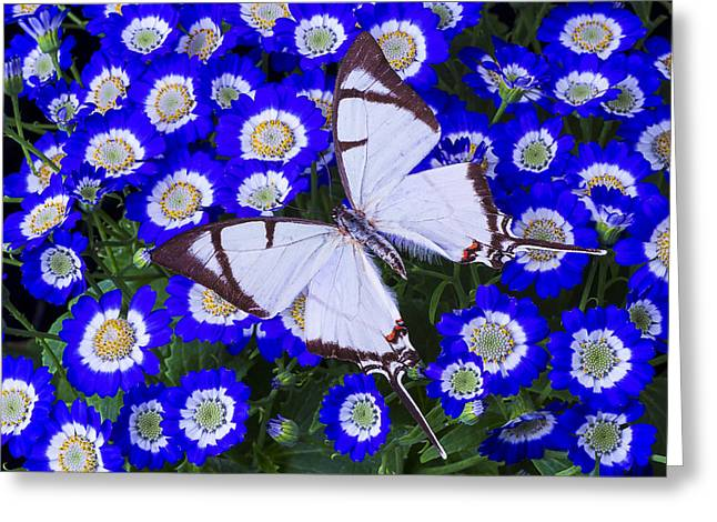 Gorgeous Flowers Greeting Cards - White butterfly On Blue Cineraria Greeting Card by Garry Gay