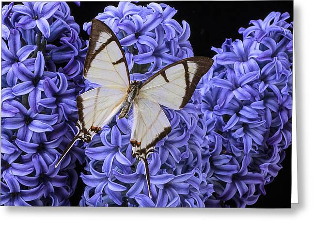 White Butterfly Greeting Cards - White butterfly on blue hyacinth Greeting Card by Garry Gay