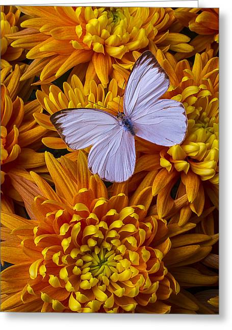Gorgeous Flowers Greeting Cards - White Butterfly On Orange Mums Greeting Card by Garry Gay